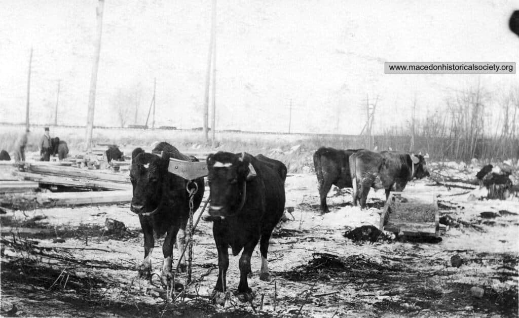 Teams of oxen owned by local farmers were hired to help with the construction work.